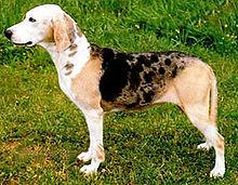 Dunker-pet-dog breeds-pets
