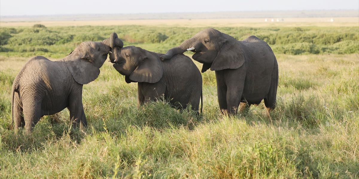 elefante,sabana,africano,bosque,extincion