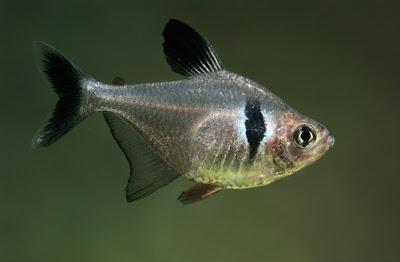 Ikan Hias Black Phantom
