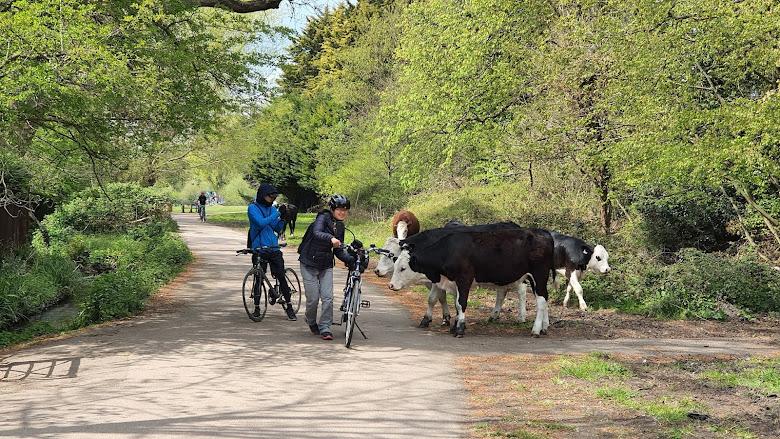 公園裡牛,不知道為什麼他們對於腳踏車很感興趣