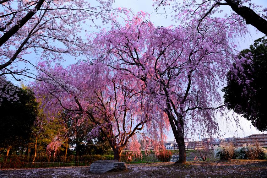 犀川緑地の八重紅枝垂れ桜