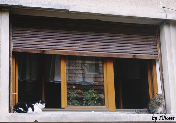 pisici-la-ferestre-brasov