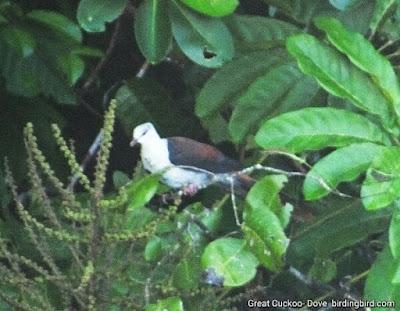 Birding in waigeo
