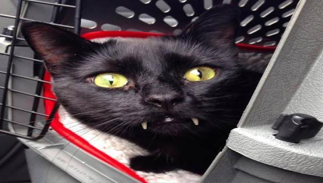 Η χαδιάρα γάτα που μοιάζει με τον ... Κόμη Δράκουλα (φωτό)