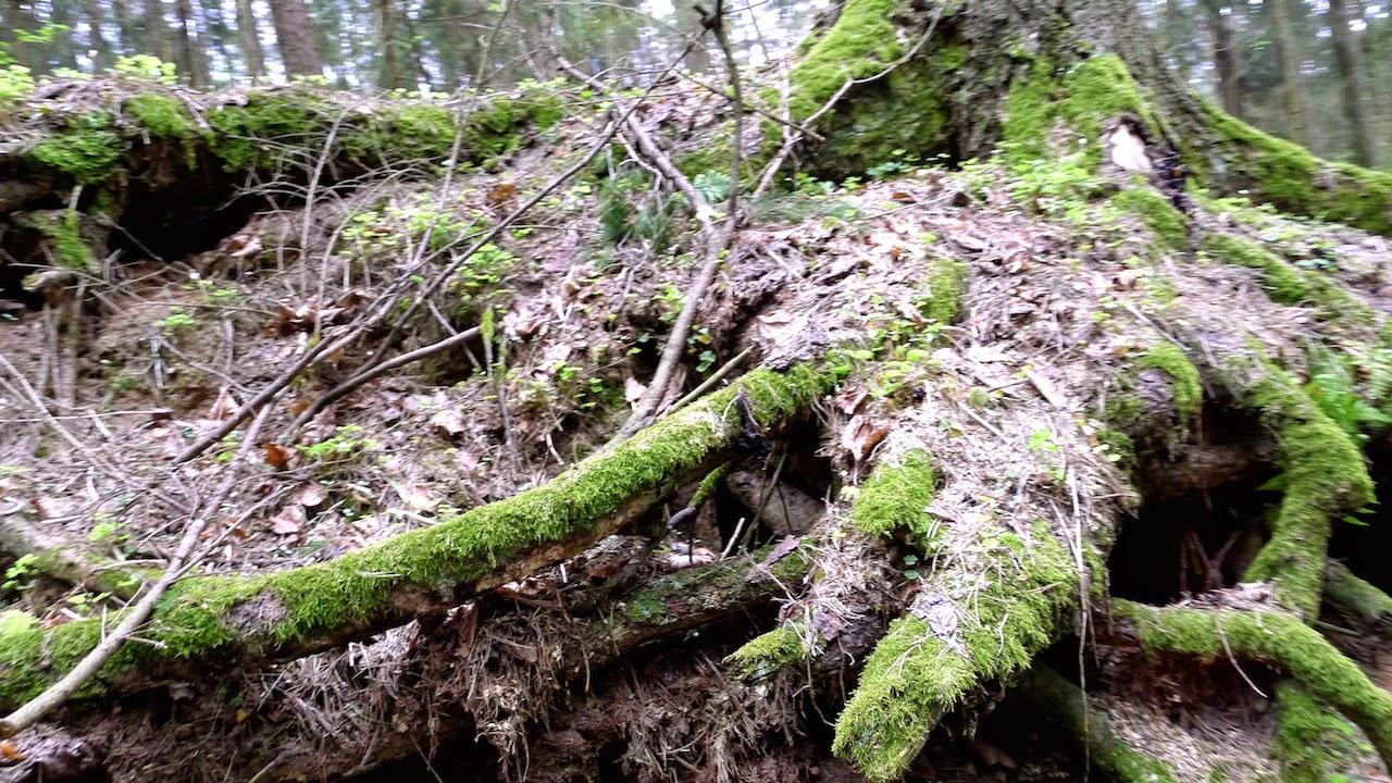 Virtuoliai medžiai Sapieginėje prie pėsčųjų tako