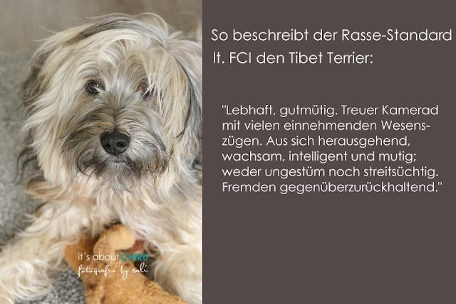Tibet Terrier Chiru [Hundeblog] so beschreit ihn der Rasse-Standard
