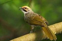 Tips Merawat Harian Burung Cucak Rowo dan Menjelang Lomba