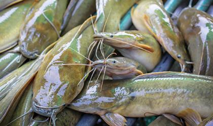 Kelebihan Dan Kekurangan Ikan Lele Sangkuriang