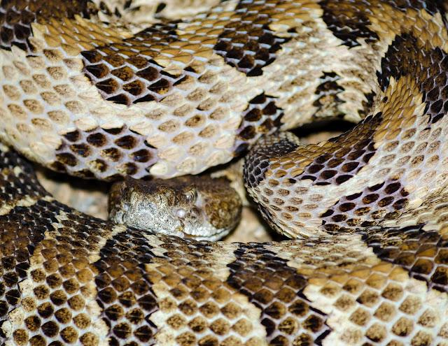 Timber Rattlesnake Ohio