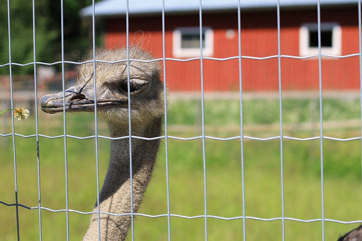kiviniityn eläinpiha, kotieläinpiha, kotieläin, sturtsi, ostrich