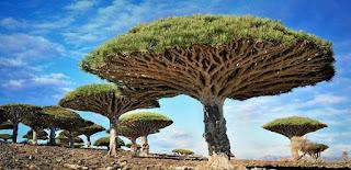 pulau socotra yaman