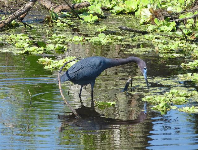 Little Blue Heron - Eagle Lakes Community Park, Florida