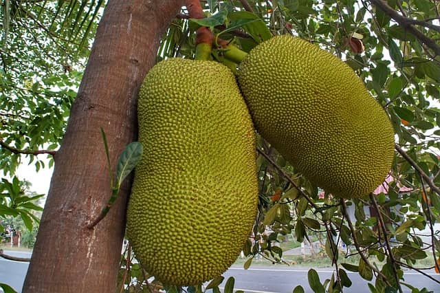 Jackfruit In Hindi-Benefits Of Jackfruit-कटहल के पेड़ की जानकारी हिंदी में-NEW UPDATED