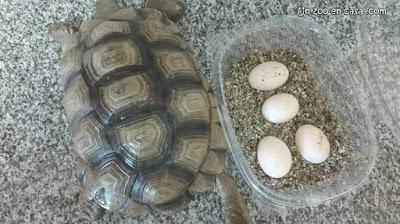 Hembra de tortuga argentina junto a su puesta