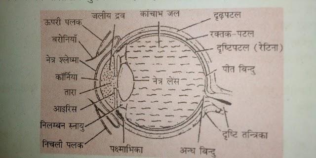 मानव नेत्र ( Human eye ) : मानव नेत्र तथा मानव नेत्र के भाग