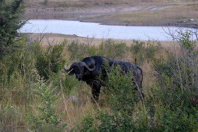 Cape Buffalo, buffalo, wildlife, safari, Africa, Southern Africa, Big Five