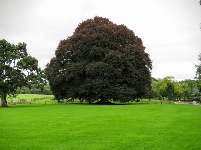 Lone tree at Mount Falcon Estate in County Mayo, Ireland