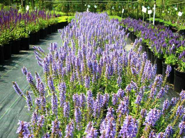 High Performance Flowers 2013 Introductory Perennial List