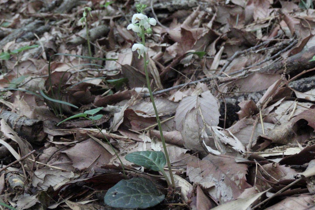 イチヤクソウ 芒種/06.06 上州緑野山