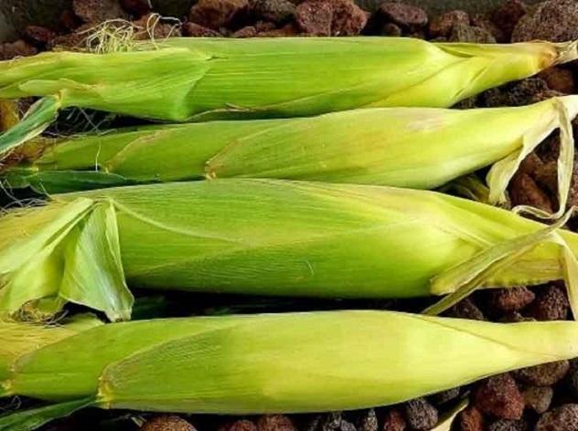corn on the cob still in husks