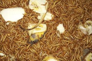 Makanan Jalak Suren Agar Gacor dan Rajin Berkicau Terus Siang Malam