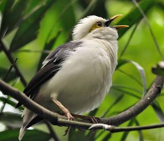 7 Cara Dan Tips Akurat Proses Perawatan Burung Jalak Putih Supaya Gacor Yang Sudah Terbukti
