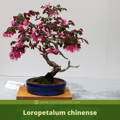Loropetalumchinense