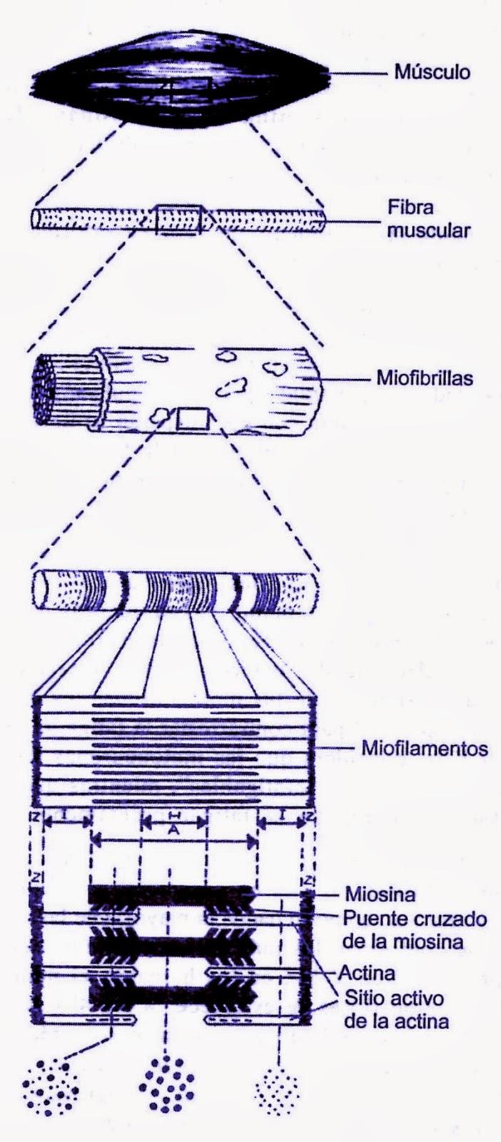 Estructura morfológica de la fibra muscular esquelética