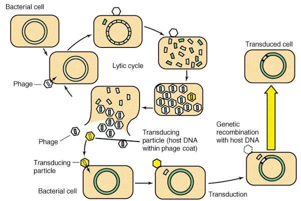 Tranduksi pada bakteri yang melibatkan virus