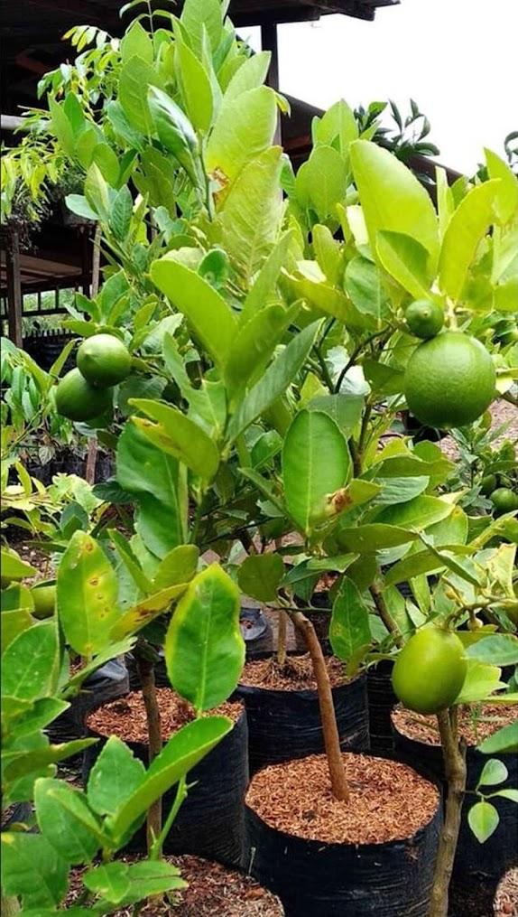 Bibit jeruk nipis Sumatra Utara