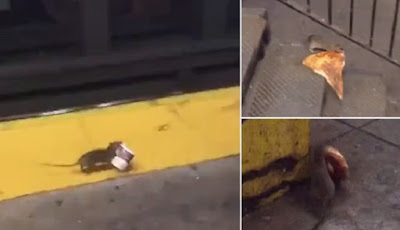 Tikus berjalan dengan makanan modern