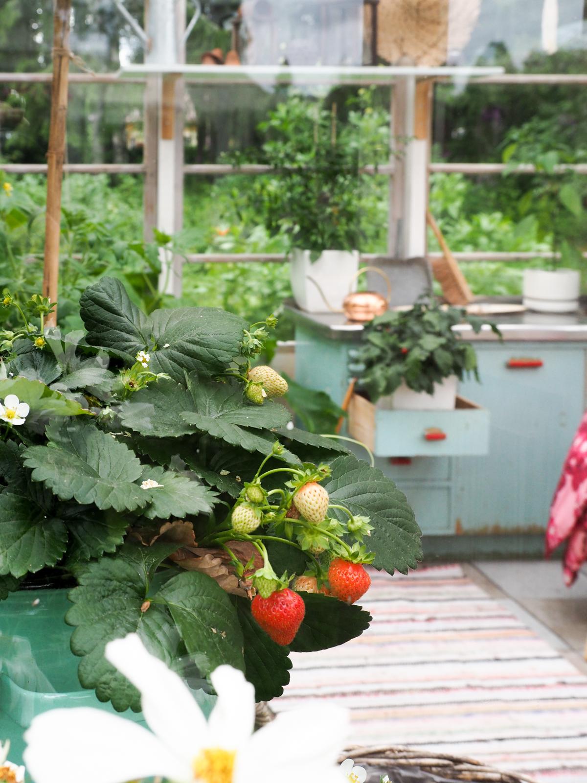 mitä taimia kasvihuoneeseen