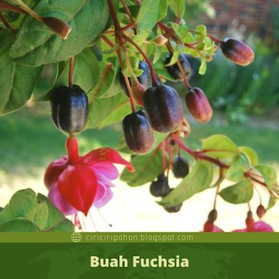 Ciri Ciri Buah Fuchsia