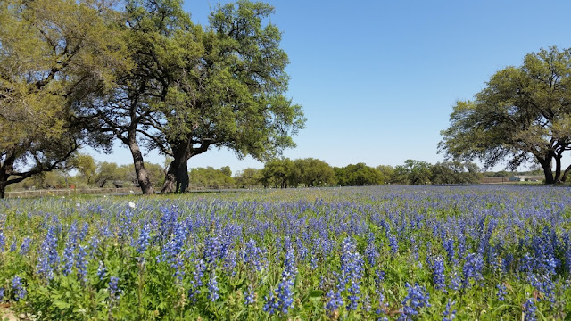 A Kendall County field of bluebonnets
