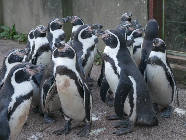 South Lakes Safari Zoo penguins