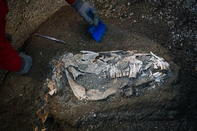 Third thoroughbred with elaborate military harness unearthed in ancient stable near Pompeii