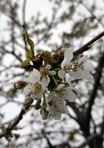 hvite blomster