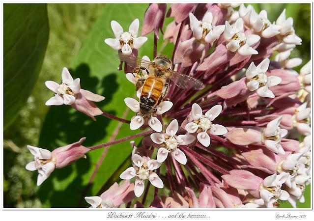Wachusett Meadow: ... and the buzzzzzzz...
