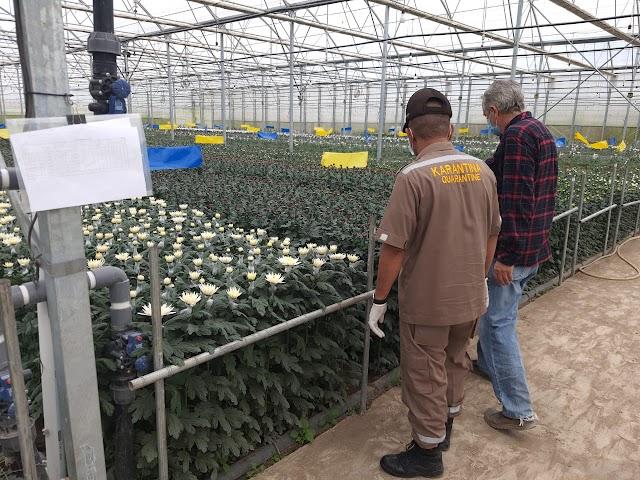 Melonjak, Ekspor Krisan Sumut ke Jepang Capai Rp851,7 Juta