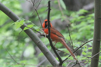 "This photograph features a male cardinal perched on the branch of a tree and looking straight ahead. This bird type is featured in my book series, ""Words In Our Beak."" Info re these books is in another post on this blog @ https://www.thelastleafgardener.com/2018/10/one-sheet-book-series-info.html"