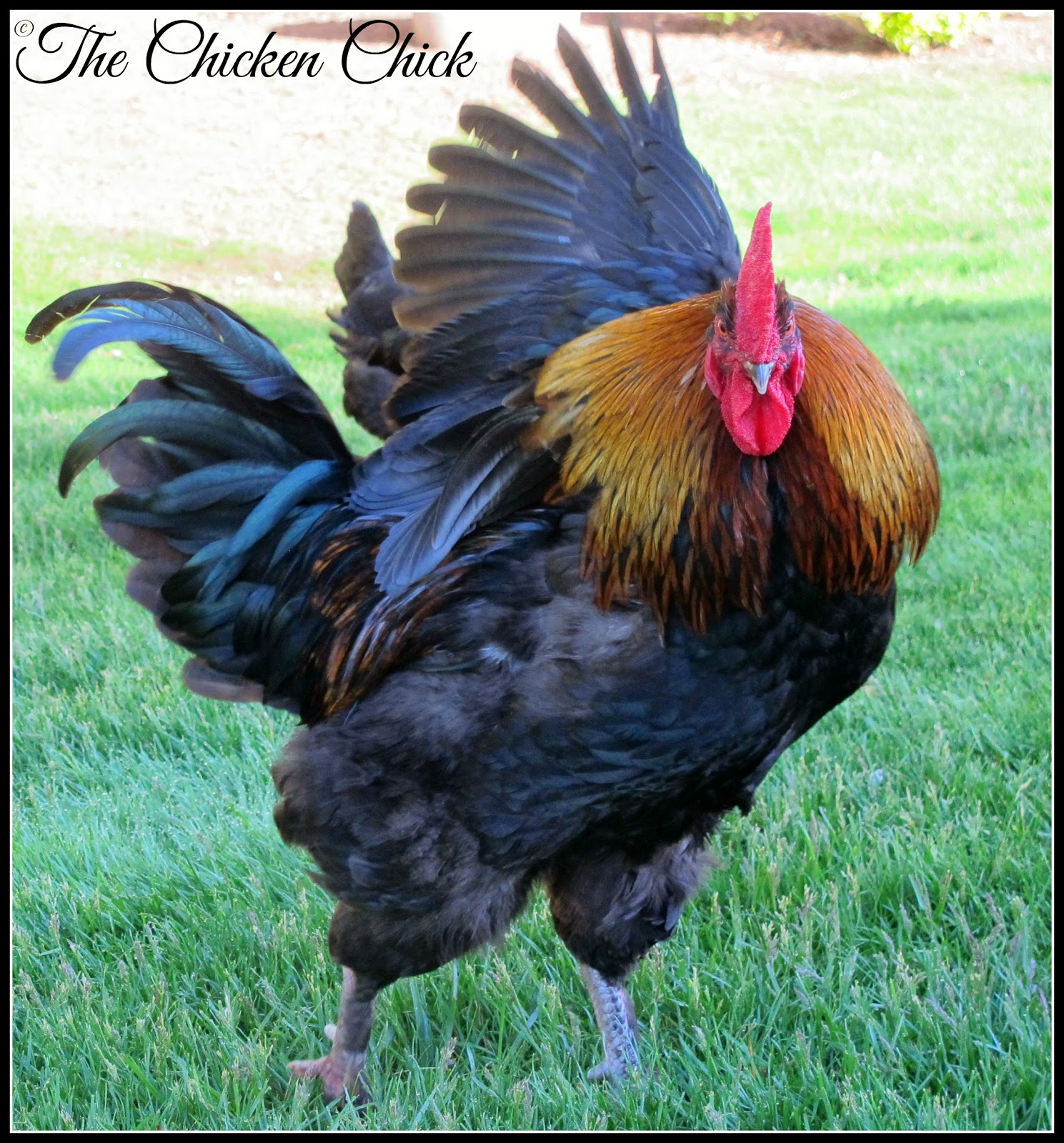 There are no flowers, no dinner and a movie, so how does a rooster impress the chicks? Some roosters don't even bother trying, they'll simply take charge of their mate, but the more romantic types have a few go-to moves they rely upon to dazzle the ladies