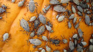 Closeup of many grayish stink bugs on a pumpkin.