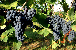 prugnolo gentile grapes