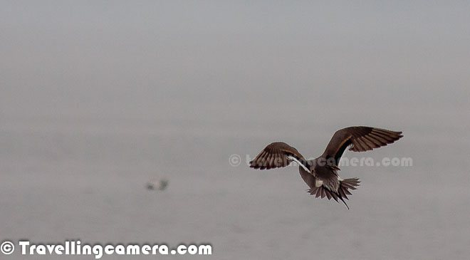 Wild Wings Of Pong Dam  A Series On Migratory Birds We -6565