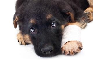 ferimentos em cães