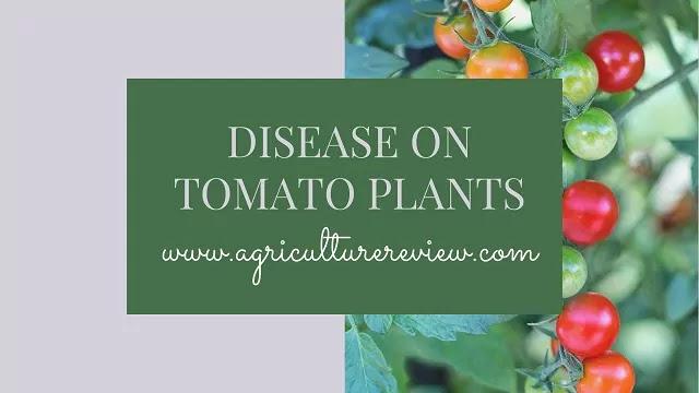 disease on tomato plants