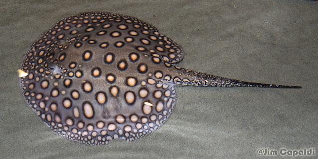 Gambar ikan pari hias air tawar