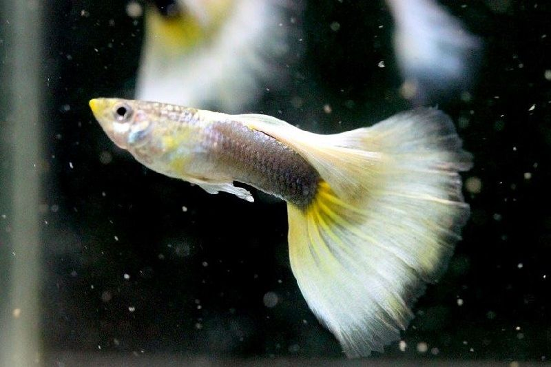 Gambar Jenis Ikan Guppy Import - Ikan Guppy Import HB White Pastel / HBWP