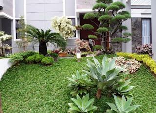 taman minimalis dengan bonsai cemara udang