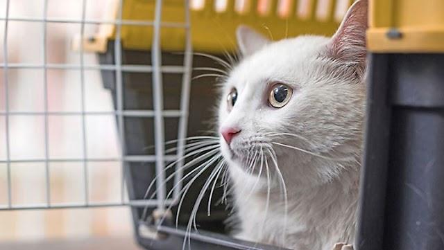 Απλά βήματα για συνηθίσει η γάτα το κλουβί μεταφοράς